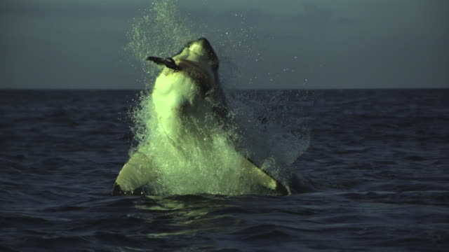 A massive Great White shark launches itself from below the surface with speed and agility to capture its prey.