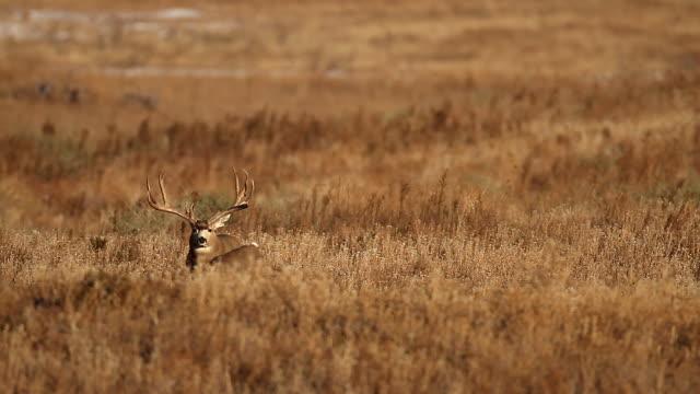 WS massive mule deer buck (Odocoileus virginianus) scans the praire for does