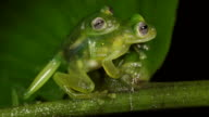 Mating glass frogs (family Centrolenidae) in the characteristic amplexus position, with the male grasping the female from behind.