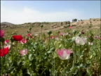 May 2004 Wide shot US troops walking downhill with field of poppies in foreground / Oruzgan Province Aghanistan / AUDIO