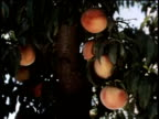 May 27, 1963 WS Man picks peaches from a tree and then carries a bucket of peaches to a storage container / United States