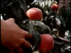 May 27, 1963 MONTAGE Man picks a peach from the tree, as many peaches are stored in boxes / United States