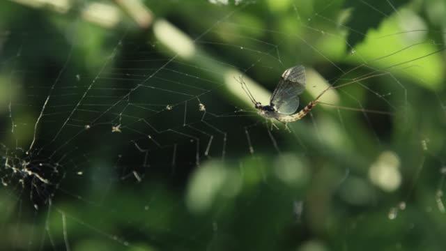 Mayfly (Ephemeroptera) trapped in silk spider web, Wiltshire, England