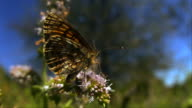 Meadow fritillary butterfly (Mellicta parthenoides) takes off from a mint flower - 2000fps (80x slowed down)