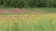 HD: Meadow in the wind