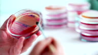 Medical laboratory. Scientist works with tubes and  petri dishes