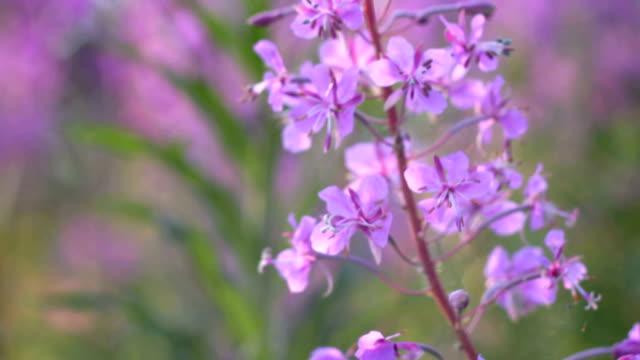 Medicinal  plant.