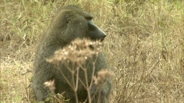 Medium - A baboon sits in the grass among the weeds on an African plain / Kenya