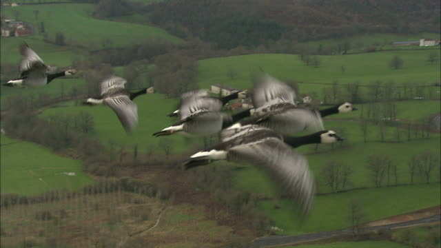 Medium aerial - Barnacle geese fly next to ultra light aircraft / France