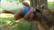 Medium Close Up hand-held - A baby raccoon eats from a bottle.