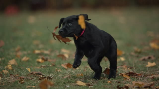 Medium Close Up hand-held - A black puppy runs through autumn leaves.