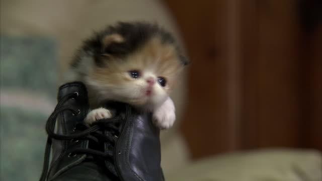 Medium Close Up hand-held - A Persian kitten rests inside a boot.