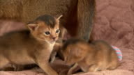 Medium Close Up hand-held - Abyssinian kittens play on a soft surface.