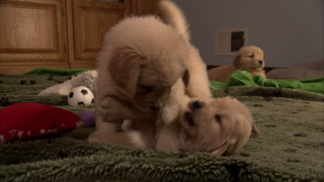 Medium Close Up hand-held - Puppies engage in mock combat on a carpet.