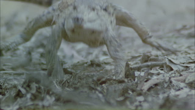 Medium Close Up hand-held tilt-down - A crocodile lopes toward a river and splashes in / Darwin, Australia