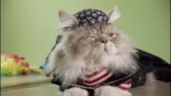 Medium Close Up hand-held zoom-in - A Napoleon cat wears a mini biker outfit and do-rag.