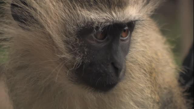 Medium Close Up hand-held zoom-in - A vervet monkey looks around. / Mozambique