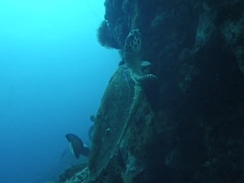 Medium close up Hawksbill turtle finding a place to sleep for the night