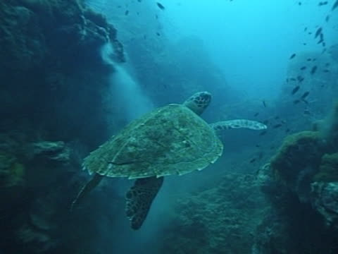 Medium close up Hawksbill turtle swims over coral and past smoking clams?