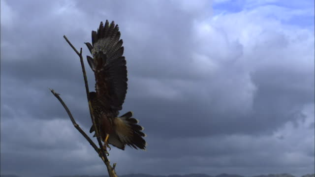 Medium close up, side angle, slow motion; hawk swoops in and attacks smaller bird