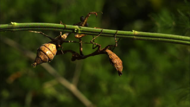 Medium close up, side angle, slow motion; two Budwing mantises fighting, the insects hang from a branch in opposite directions