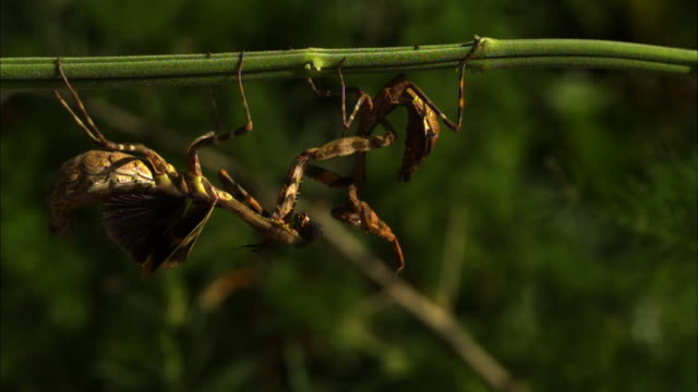 Medium close up, side angle, slow motion; two male Budwing mantises fight while hanging upside down on branch, one falls off