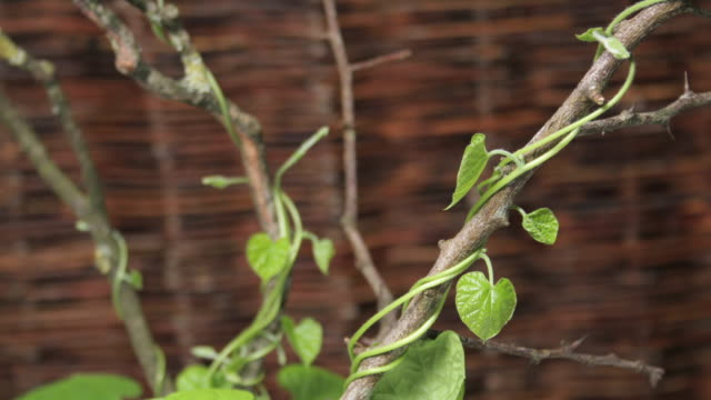 Medium Close Up static _ The vines of a morning glory wrap around stems and climb