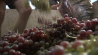 Medium Close Up static - A pair of feet crushes grapes. / Greece