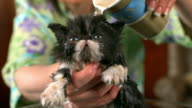 Medium Close Up static - A Persian kitten licks as its owner pours water on it.