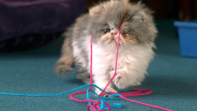 Medium Close Up static - A Persian kitten plays with string.