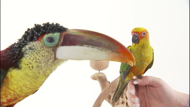 Medium Close Up static - A toucan watches as a sun conure parrot perches on a human hand.