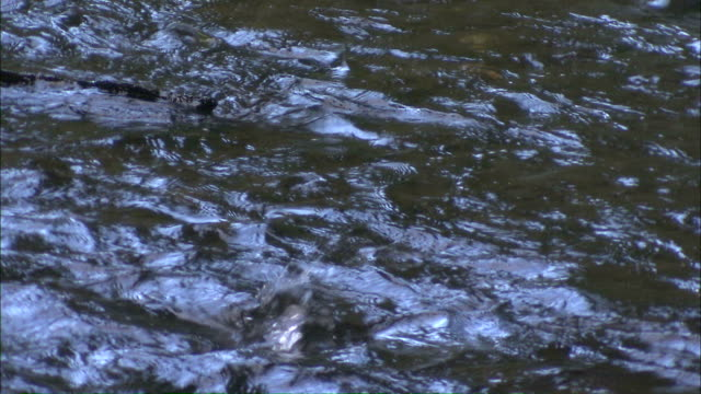 Medium Close Up static - Water ripples and bubbles as salmon roil in a river / Afognak, Alaska, USA