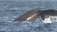 'Medium Close Up static-A whale dives and exposes its mighty fluke. / Alaska, USA'