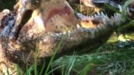 Medium Close Up tilt-up - A crocodile opens its massive jaws. / Johannesburg, South Africa