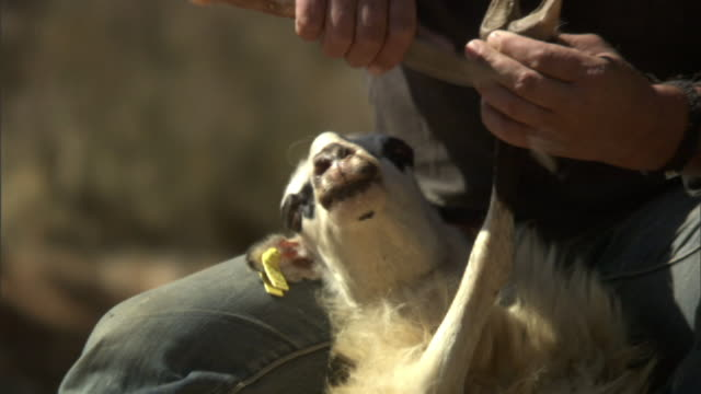 Medium Close Up tilt-up - A shepherd cleans a sheep's hooves with a knife in Greece. / Greece