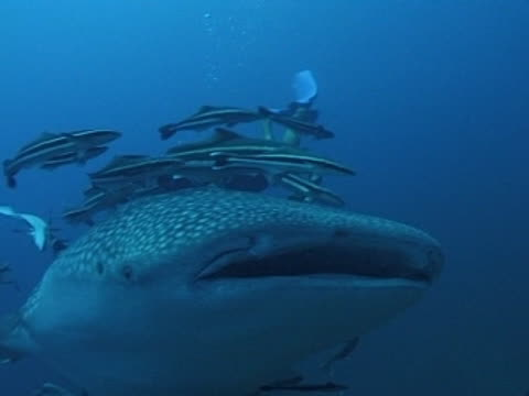 Medium close up Whale shark swims towards camera, close up of mouth with remoras & divers