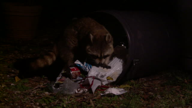 Medium Close Up Zoom Out - Two raccoons scavenging for food near toppled trash cans /