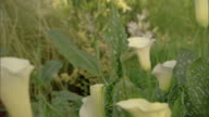 Medium drift to a close-up of a white calla lily.