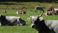 Medium group of cows grazing in a Bavarian field.