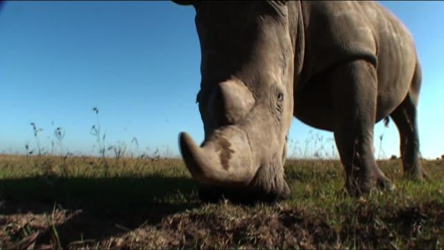 Medium hand-held - A rhinoceros grazes on the savanna. / Kenya