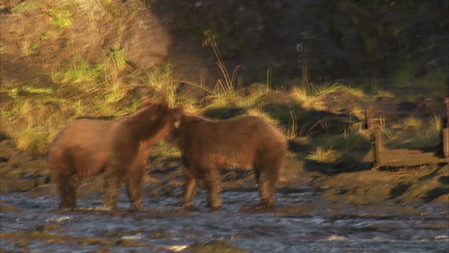 'Medium hand-held pan-right-A grizzly bear chases two others into a river. / Alaska, USA'