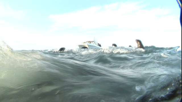 Medium hand-held - Sea lions swim and leap from the ocean as tourists watch from a boat. / South Africa