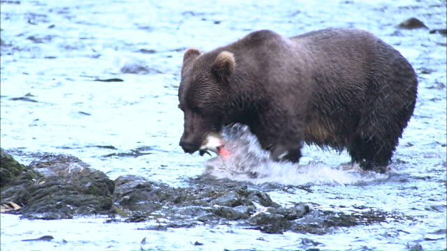 Medium hand-held tracking-left - A Kodiak brown bear pulls a salmon  out of a river and climbs on a rock to eat it / Afognak, Alaska, USA