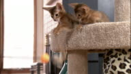 Medium hand-held zoom-in - Abyssinian kittens play with a ball on a stick.
