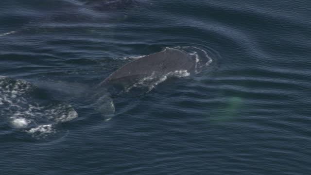 'Medium Long Shot aerial-Two whales dive back into the ocean. / Alaska, USA'