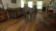 Medium Long Shot hand-held - A miniature donkey walks through a living room.