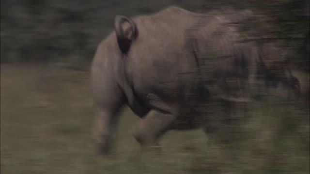 Medium Long Shot pan-right - A rhinoceros trots across a savanna. / Kenya