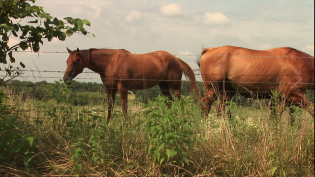 Medium Long Shot pan-right - Horses graze behind a barbed wire fence. / USA