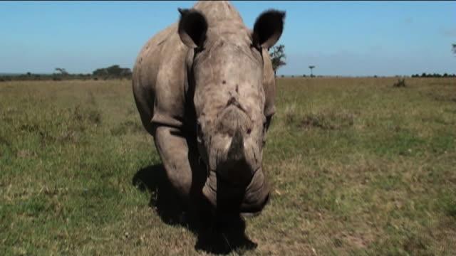 Medium Long Shot push-out - A rhino charges across the savanna. / Kenya