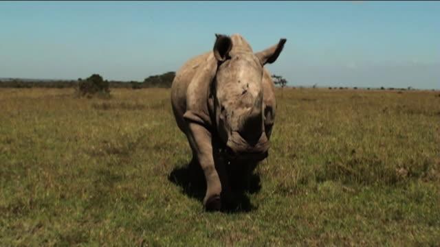 Medium Long Shot push-out - A rhino trots across the savanna. / Kenya